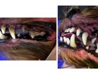 Уникальное фотографию Услуги для животных Чистка зубов собакам в Раменском 40325045 в Раменском