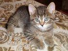 Изображение в Кошки и котята Продажа кошек и котят Чистокровные милые , весёлые шотландцы, мальчики в Рязани 1500