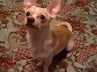 Изображение в Собаки и щенки Вязка собак мальчик чихуахуа. 1, 5 года. не развязан. в Рязани 0