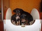 Фотография в Собаки и щенки Продажа собак, щенков Новогодняя распродажа! ! ! Подарочек под в Рязани 5000