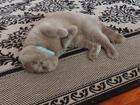 Скачать бесплатно изображение Вязка Обоятельный Британский вислоухий кот ищет кошечку 39073446 в Рязани