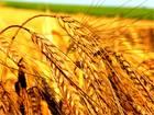 Скачать фотографию  Яровая пшеница, Ячмень, Овёс, Горох, Гречиха 50520636 в Рязани