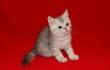 Предлагаем шотландского котёнка мальчика
