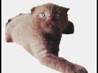 Увидеть изображение Кошки и котята Вислоухий шоколадный мальчик большая редкость 32539831 в Ростове-на-Дону