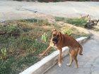 Фотография в Потерянные и Найденные Потерянные Приблудилась собака, кобель, порода похожа в Ростове-на-Дону 0