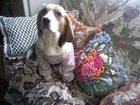 Изображение в Собаки и щенки Продажа собак, щенков Две девочки и один мальчик. Родились 19 декабря в Ростове-на-Дону 20000