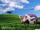 Изображение в Домашние животные Другие животные реализуем свиней с откорма без ГМО. Порода в Ростове-на-Дону 100