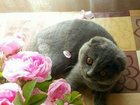 Фотография в Кошки и котята Вязка шотланская вислоухая вязка! ! ! оплатим котёнком в Ростове-на-Дону 0