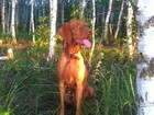 Фотография в Собаки и щенки Продажа собак, щенков Щенки от дипломированных и рабочих родителей в Ростове-на-Дону 50000