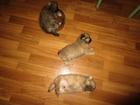 Изображение в Собаки и щенки Продажа собак, щенков Продаются маленькие пушистые комочки счастья в Ростове-на-Дону 3500