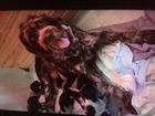 Изображение в   Замечательные щенки с отличной родословной в Ростове-на-Дону 0