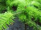 Фотография в Домашние животные Растения Пихта кавказская Нордмана 20-35см Шахты – в Ростове-на-Дону 300