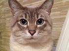 Фотография в Кошки и котята Вязка Молодой сиамский кот (окрас тебби блю поинт) в Ростове-на-Дону 900