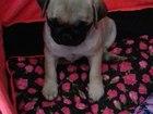 Изображение в Собаки и щенки Продажа собак, щенков Продам девочку 2, 5 месяца, молочного окраса в Ростове-на-Дону 8000