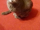 Изображение в Потерянные и Найденные Найденные Найден кот породы русская голубая 19 ноября в Ростове-на-Дону 0