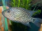 Увидеть фото Аквариумные рыбки Куплю бриллиантовую цихлозому 37837606 в Шахты