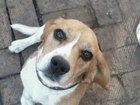 Изображение в Собаки и щенки Продажа собак, щенков бигль клеймован с родословной имеются награды в Гуково 10000
