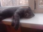 Уникальное фото Вязка Шотландец вислоухий серый приглашает на вязку 37912800 в Ростове-на-Дону