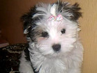 Фотография в Собаки и щенки Продажа собак, щенков Хотите чуда? Готов к продаже замечательный в Ростове-на-Дону 25000