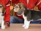 Изображение в Собаки и щенки Продажа собак, щенков Девочка и мальчик породы бигль из питомника в Ростове-на-Дону 27000