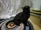 Свежее изображение  Кот-британец (чёрный) ищет кошку для вязки 38330804 в Ростове-на-Дону