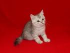 Фото в Кошки и котята Продажа кошек и котят Предлагаем шотландского котёнка мальчика в Ростове-на-Дону 7000