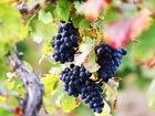 Скачать бесплатно изображение Курсы, тренинги, семинары Курс Основы виноградарства 38371942 в Ростове-на-Дону