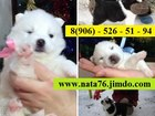 Изображение в Собаки и щенки Продажа собак, щенков Продаются заслуженные щенки ХАСКИ! ! !   в Ростове-на-Дону 0
