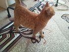 Фото в Потерянные и Найденные Найденные Найден кот, рыжий, добрый, ласковый. Советский в Ростове-на-Дону 0