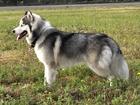 Уникальное изображение Вязка собак Сибирский хаски 38546540 в Ростове-на-Дону