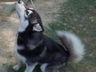 Скачать фото Вязка собак Шикарный Кобель хаски для продолжения рода 43699073 в Ростове-на-Дону