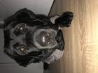 Скачать фотографию Вязка собак Ищем невесту Лабрадору Чиз 55914758 в Ростове-на-Дону