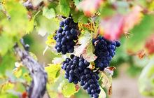 Курс Основы виноградарства