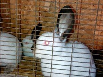 Скачать foto Грызуны Продаю Калифорнийских кроликов 33751543 в Ростове-на-Дону