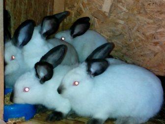 Уникальное фотографию Грызуны Продаю Калифорнийских кроликов 33751543 в Ростове-на-Дону