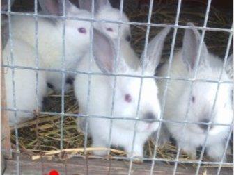 Просмотреть foto  Продаю крольчат, 35269721 в Ростове-на-Дону