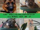 Изображение в Собаки и щенки Продажа собак, щенков Продам щенков немецкой овчарки с доставкой в Рыбинске 0
