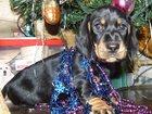 Фотография в Собаки и щенки Продажа собак, щенков Шикарные щенки стандартной гладкой таксы в Рыбинске 0