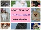 Фотография в Собаки и щенки Продажа собак, щенков Продам недорого щеночков померанского шпица! в Рыбинске 0
