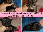 Изображение в Собаки и щенки Продажа собак, щенков Продам миловидных щеночков ЙОРКШИРСКОГО ТЕРЬЕРА! в Рыбинске 0