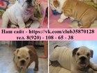 Фотография в Собаки и щенки Продажа собак, щенков Продам коренастых щенков Английского бульдога! в Рыбинске 0