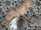 Фото в Собаки и щенки Продажа собак, щенков От отличных производителей.   Мама и папа в Рыбинске 15000