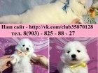 Фотография в Собаки и щенки Продажа собак, щенков Очаровательные щеночки самоедской лайки! в Рыбинске 0