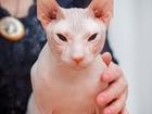 Уникальное фото Вязка кошек Ищем невесту 39584862 в Рыбинске