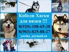 Уникальное фото Вязка собак Красивые черно-белые кобели хаски для вязки 45038433 в Рыбинске