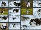 Скачать бесплатно изображение Вязка собак ПРЕДЛАГАЕТСЯ ШИКАРНЫЙ КОБЕЛЬ ХАСКИ ДЛЯ ВЯЗКИ! 60045660 в Рыбинске