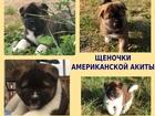 Фотки и картинки Акита-ину смотреть в Рыбинске