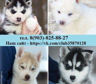 Изображение в Собаки и щенки Продажа собак, щенков Красивые, добрые, умные и ласковые хаси, в Рыбинске 0