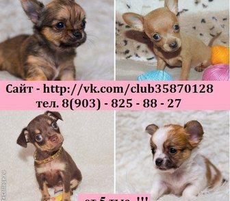 Фото в Собаки и щенки Продажа собак, щенков Чихуахуа чистокровных щеночков, Той-терьера в Рыбинске 0