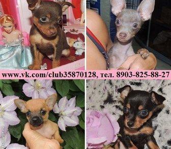 Фотография в Собаки и щенки Продажа собак, щенков Продам щеночков той терьера недорого по хорошей в Рыбинске 0